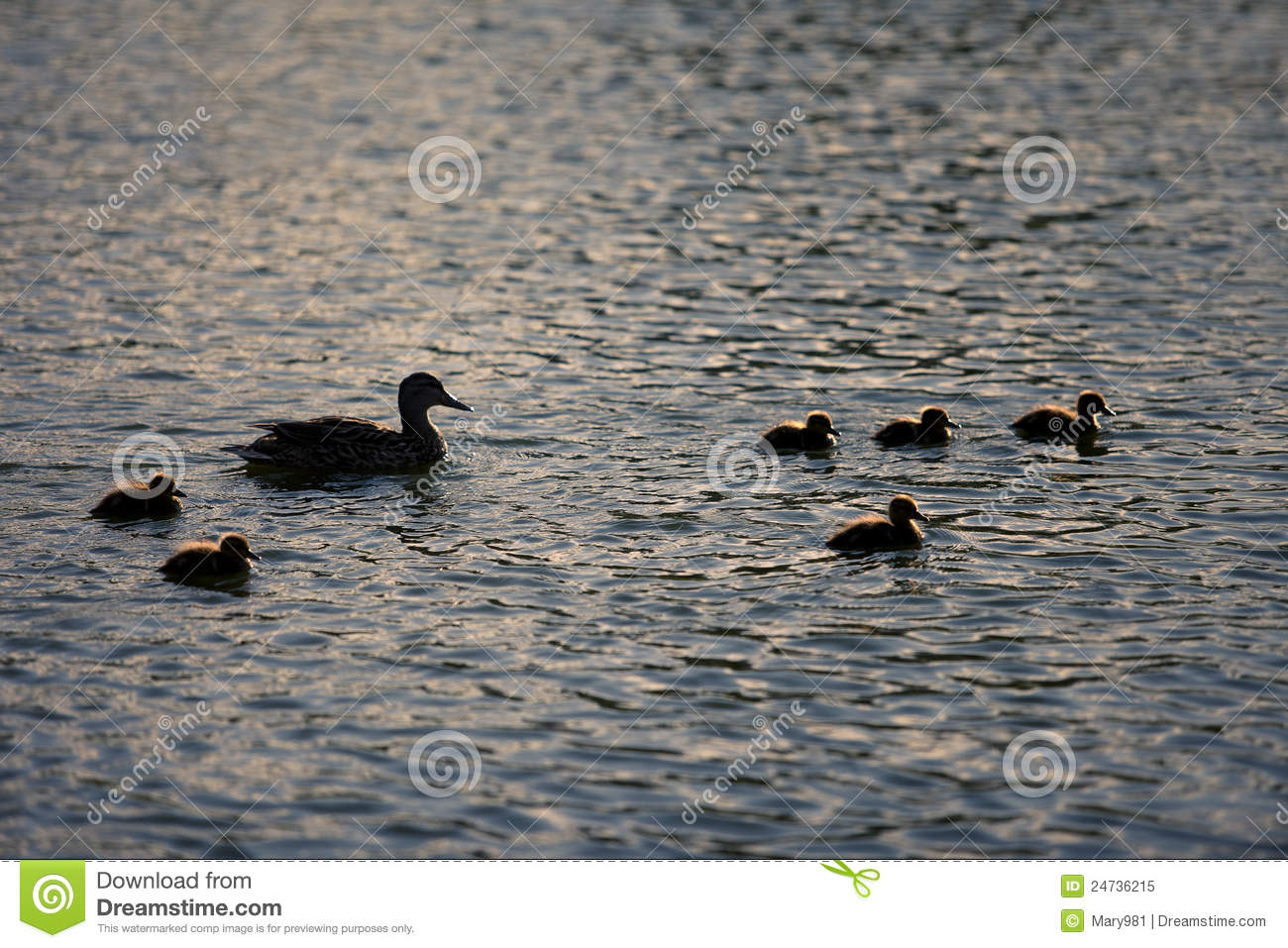 Mother and baby ducks swimming