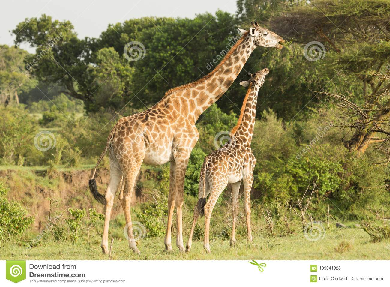 Mother And Baby Giraffe Grazing Stock Photo Image Of Travel Tall