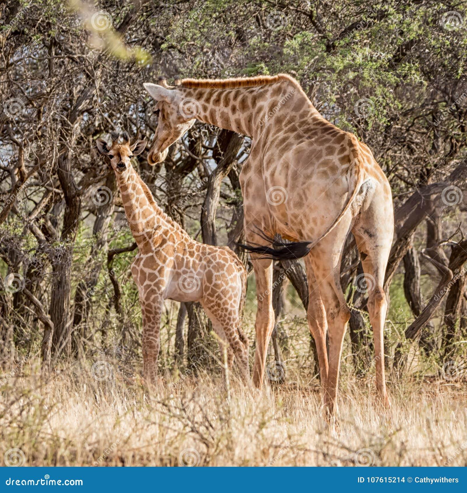 Mother And Baby Giraffe Stock Photo Image Of Cream 107615214