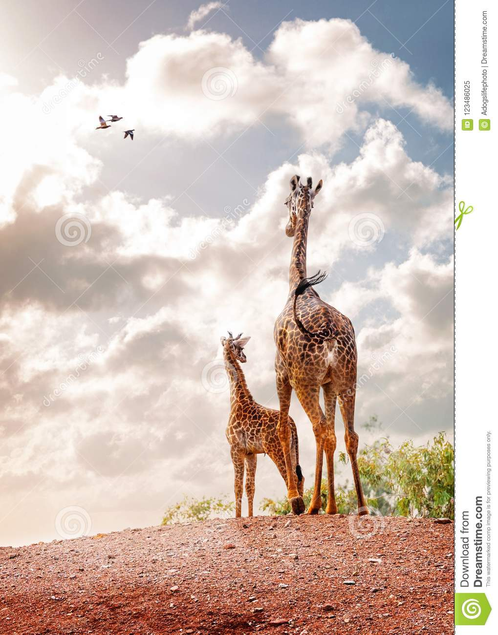 Mother and Baby Giraffe Looking Out Into Sky