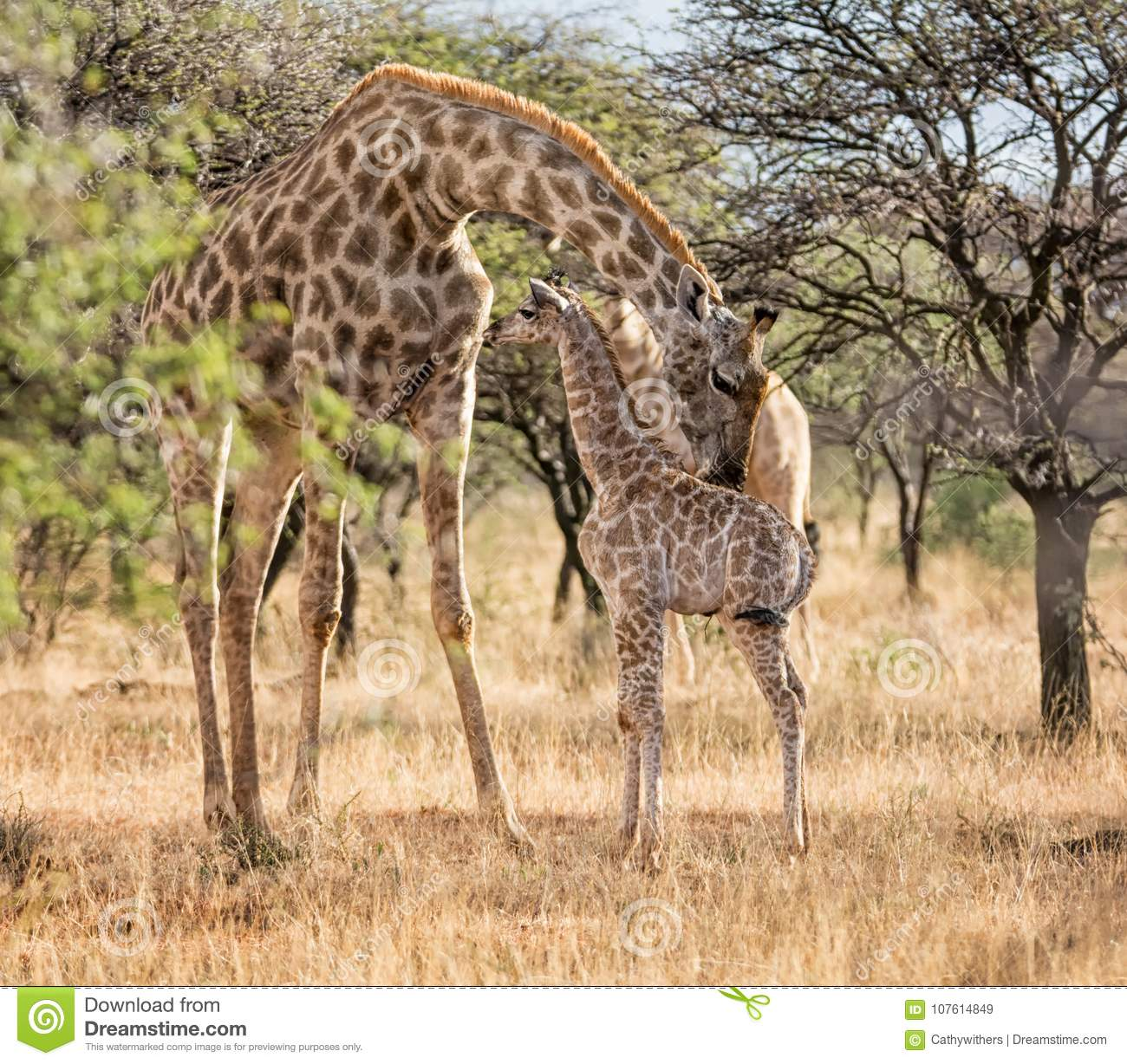 Mother And Baby Giraffe Stock Image Image Of Juvenile 107614849