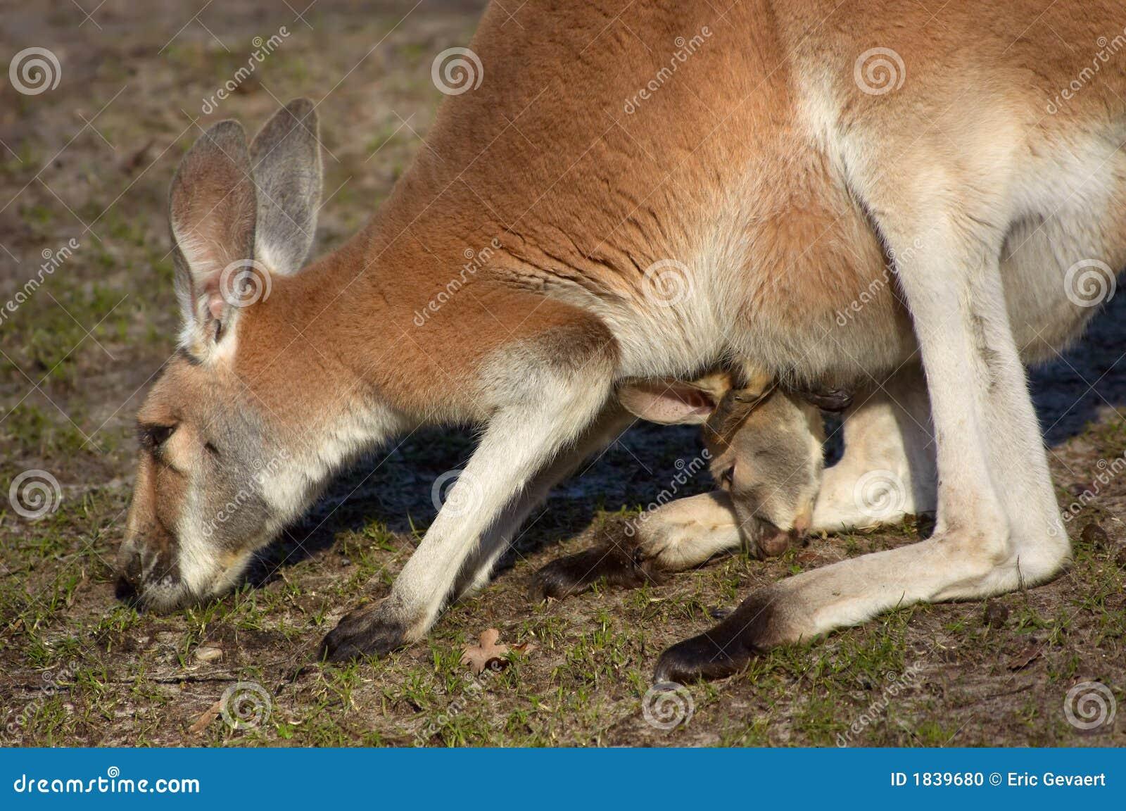 mama and baby kangaroo - photo #20