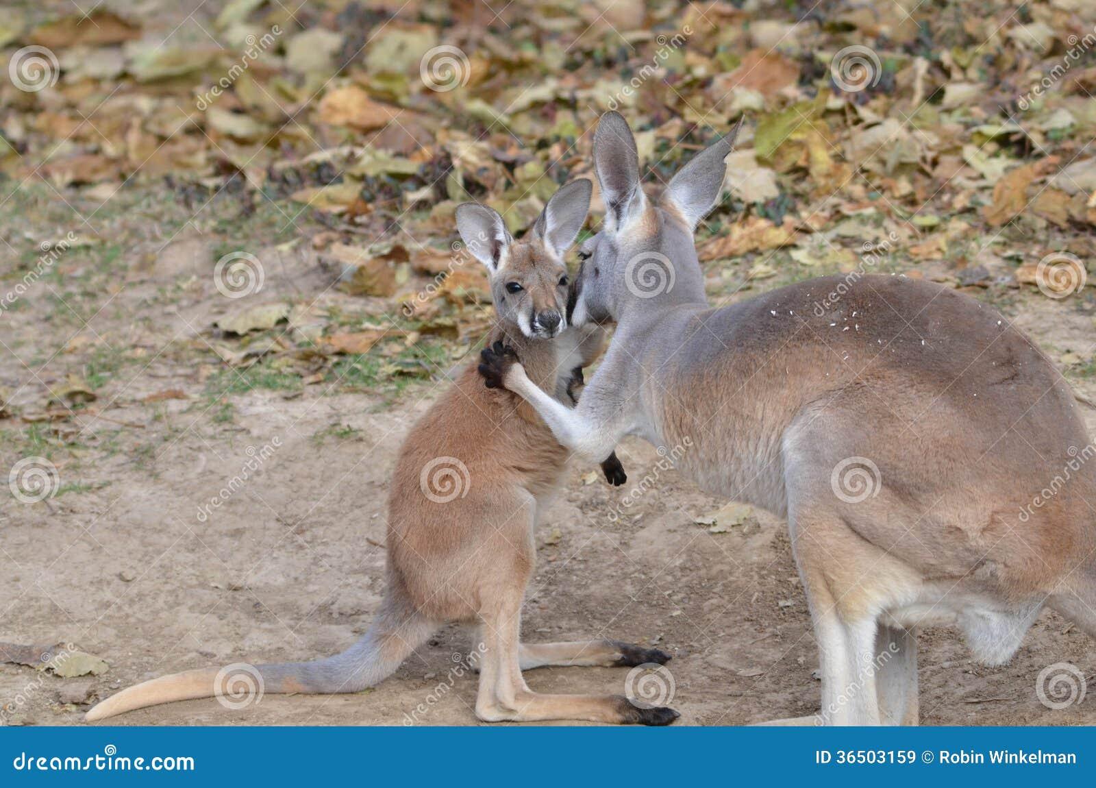 mama and baby kangaroo - photo #21