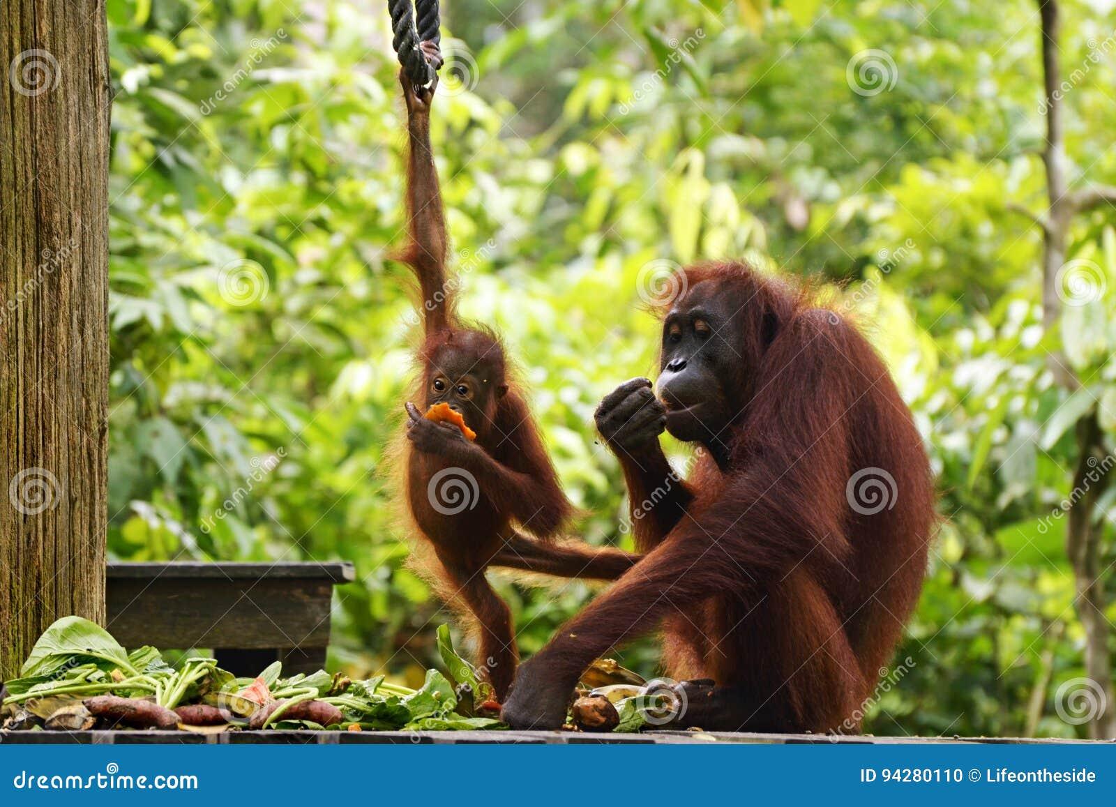 Mother and baby orangutans rehabilitation Borneo, Malaysia