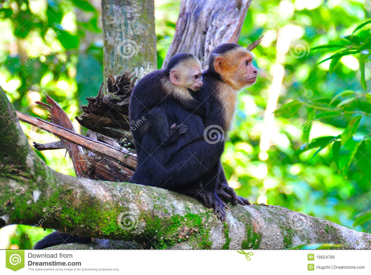 Mother and baby spider monkeys in Manuel Antonio National Park, Costa ...