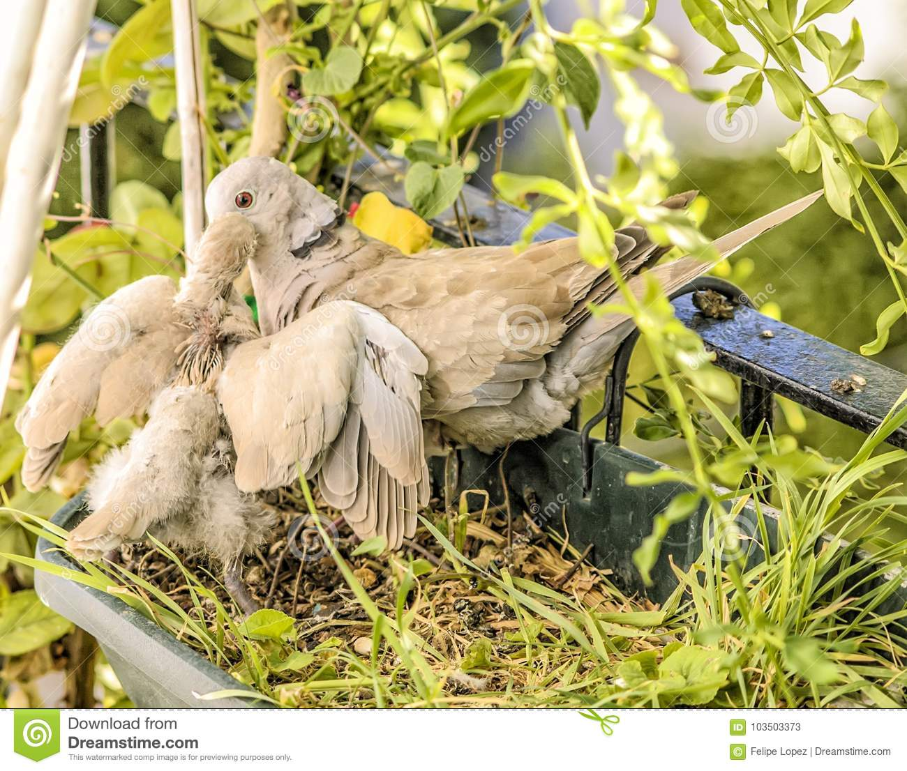 Mother and baby turtledoves.
