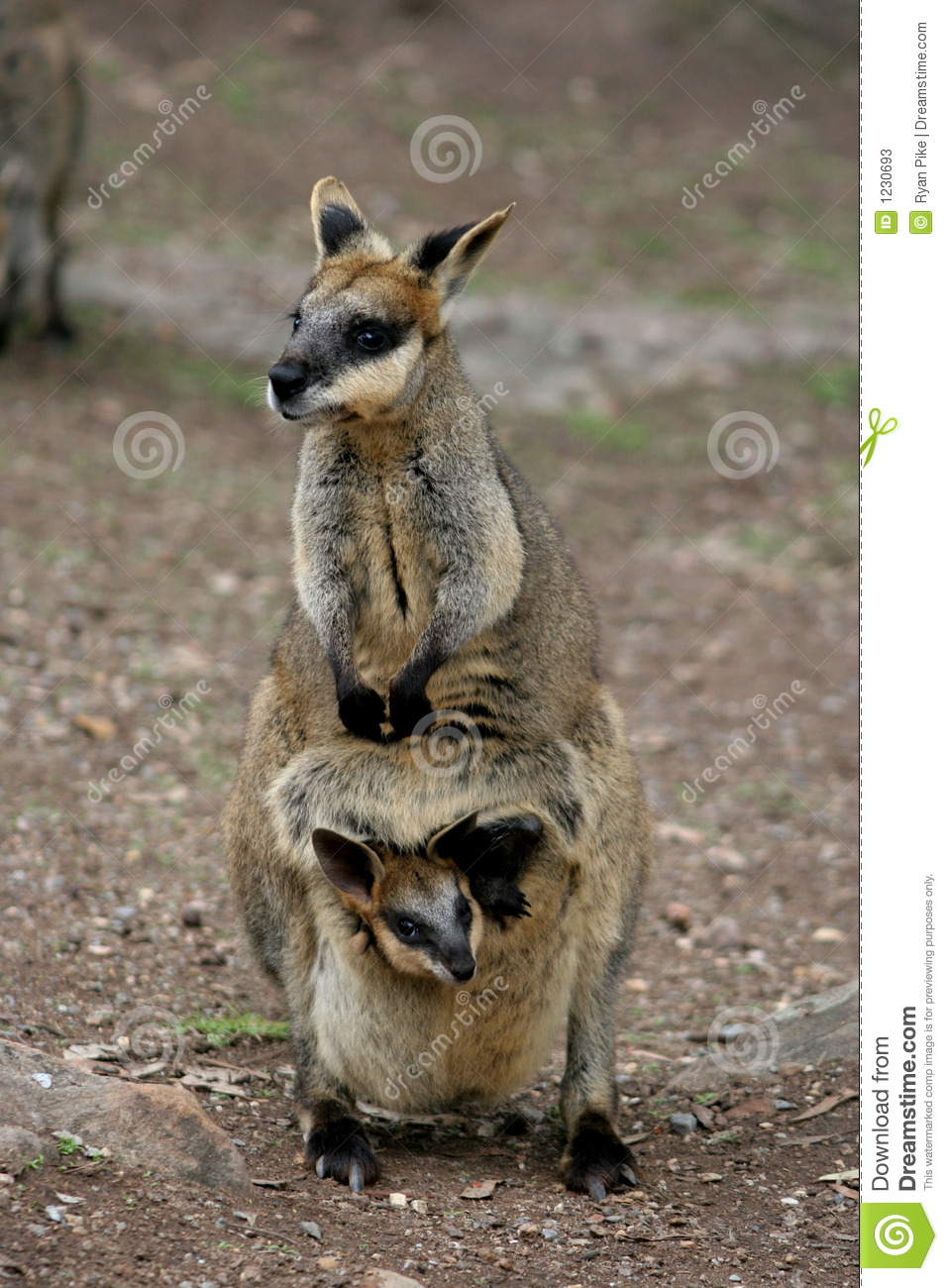 Wallaby Pouch Mother And Baby Wallab...