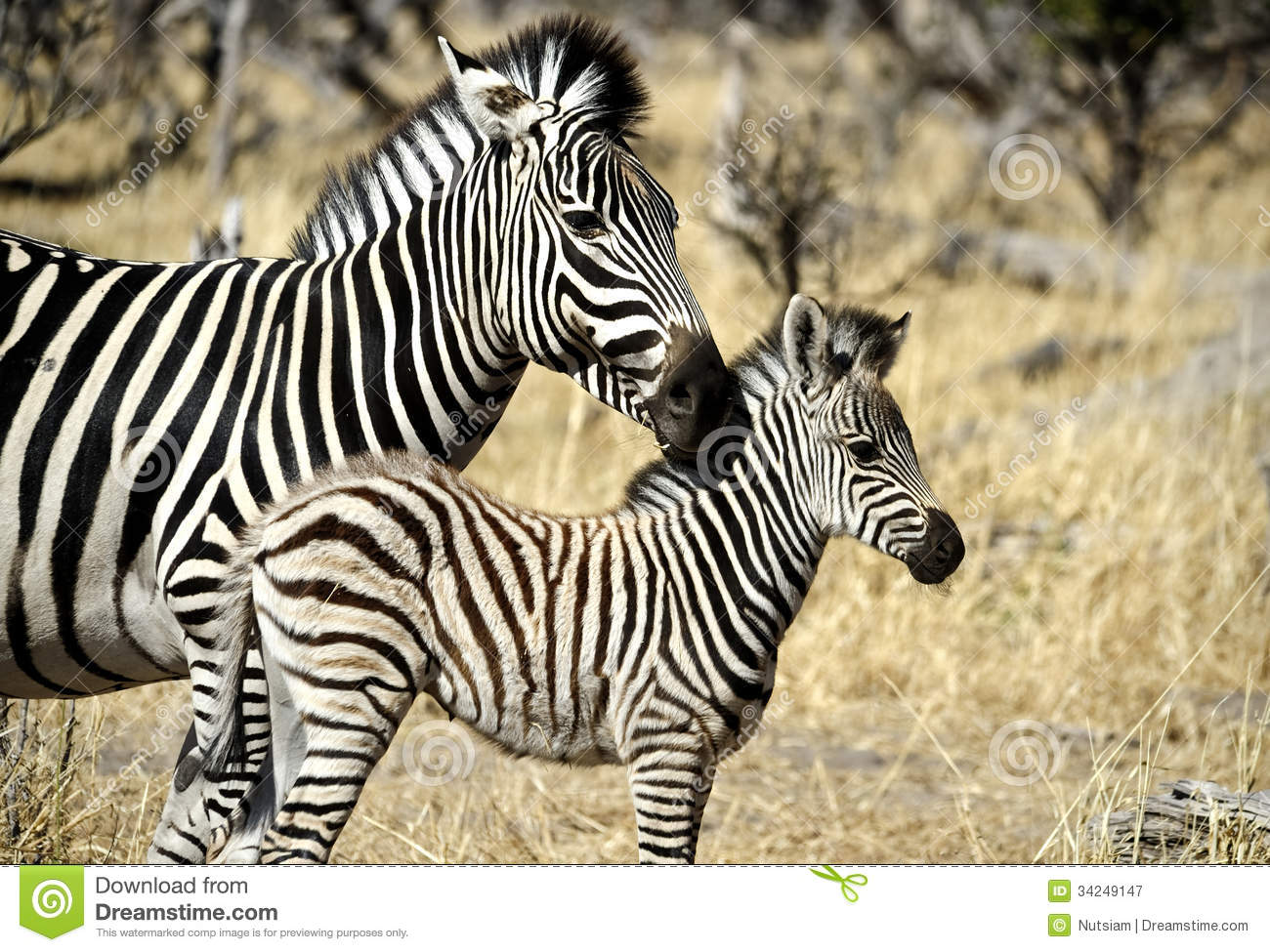 Zebra baby and mother - photo#13