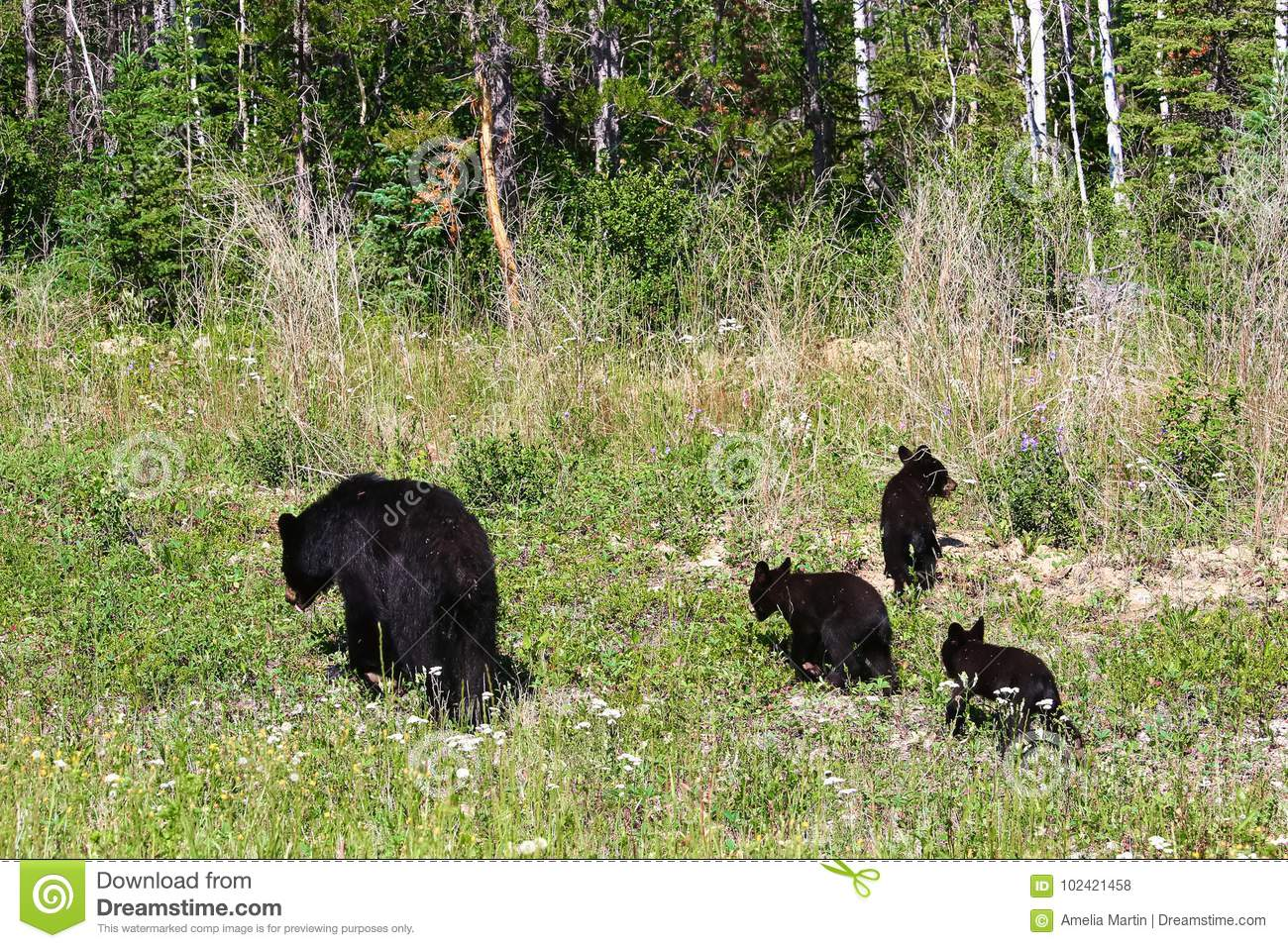 A mother bear and three cubs forage on the edge of a forest