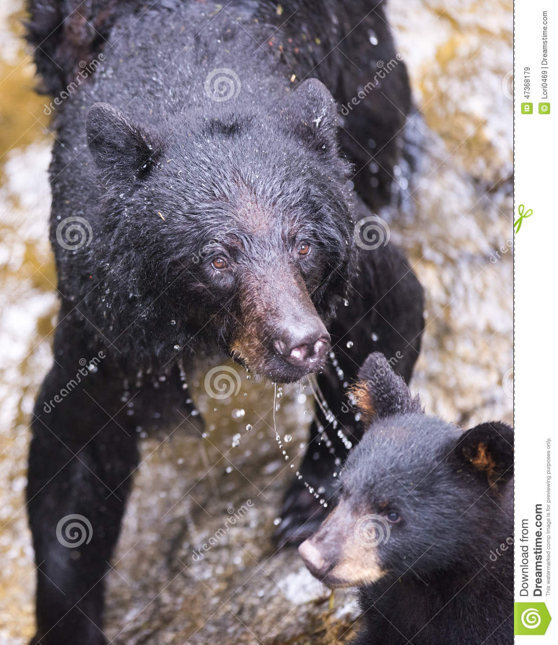Mother Black Bear And Cub (coy) Stock Image