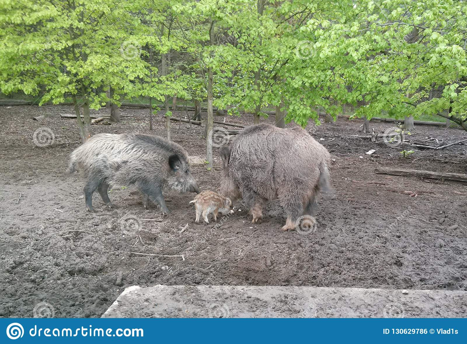 Mother boar with its baby in the forest of South Moravia