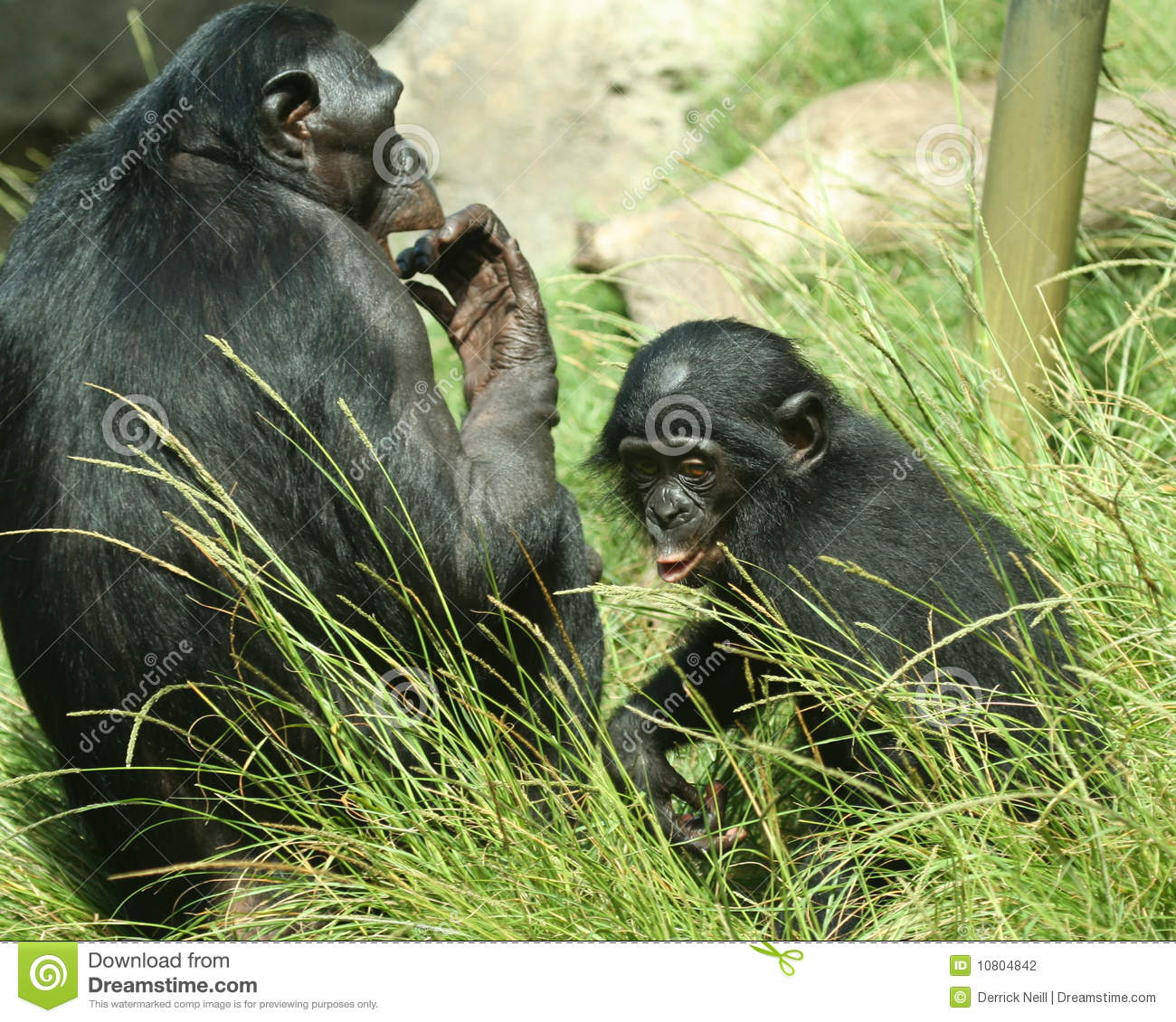 A Mother Bonobo and Her Baby