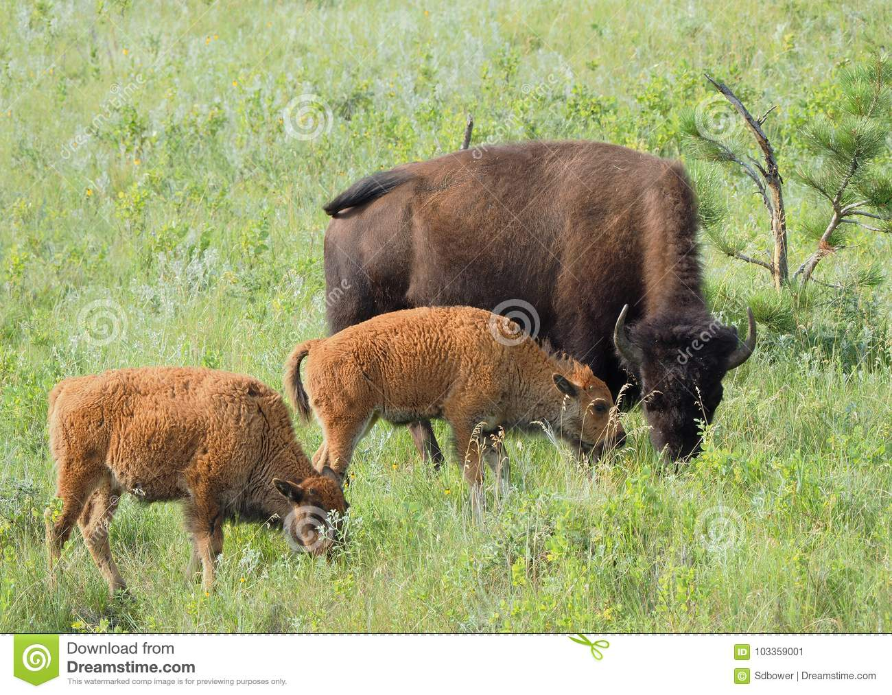 Mother Buffalo and her Two Calf Grazing