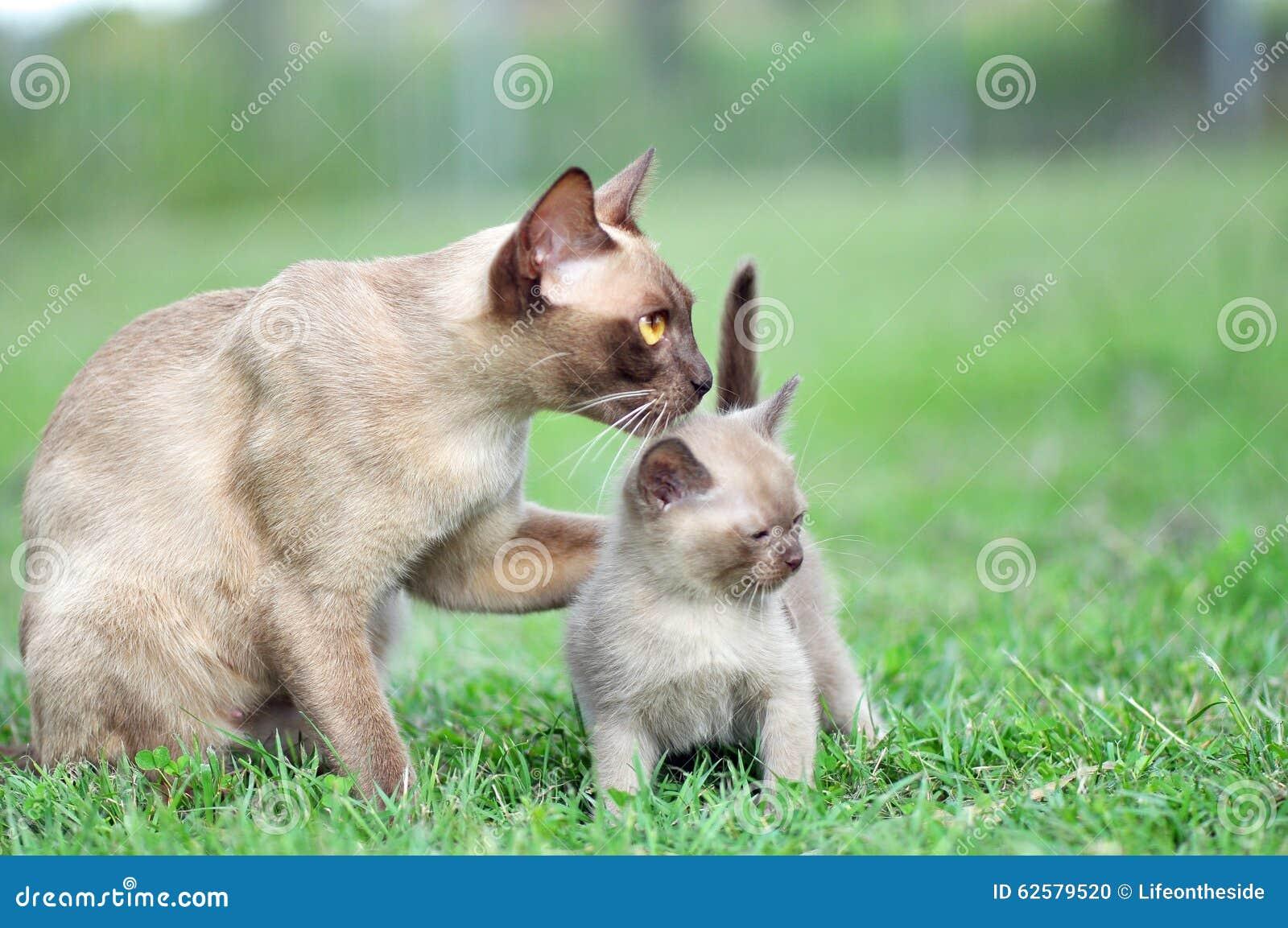 Mother Burmese cat hugging baby affectionately kitten outdoors