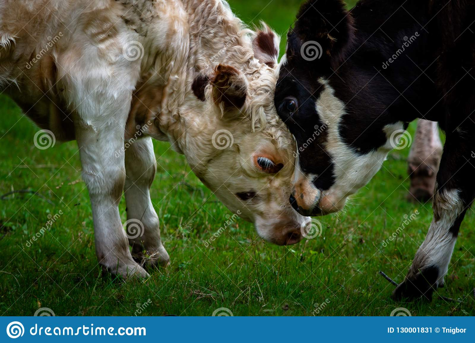 Mother and Calf butting heads togerther on green grass