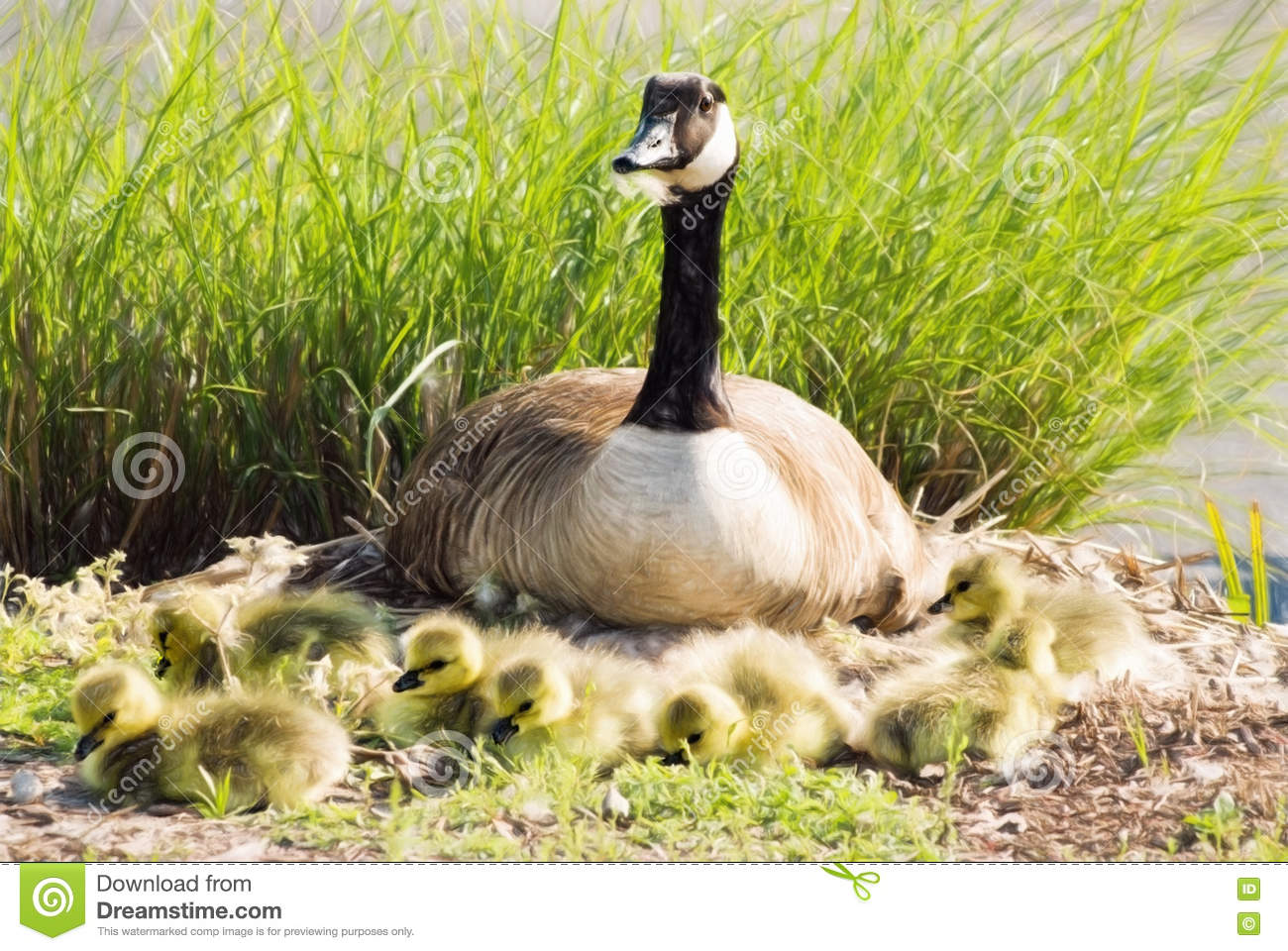 canada goose protecting nest