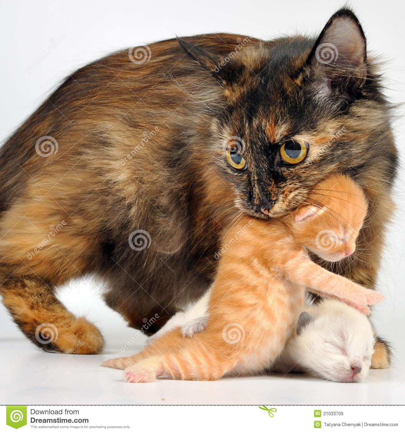 Mother Cat Carrying Newborn Kitten Royalty Free Stock Images - Image ...