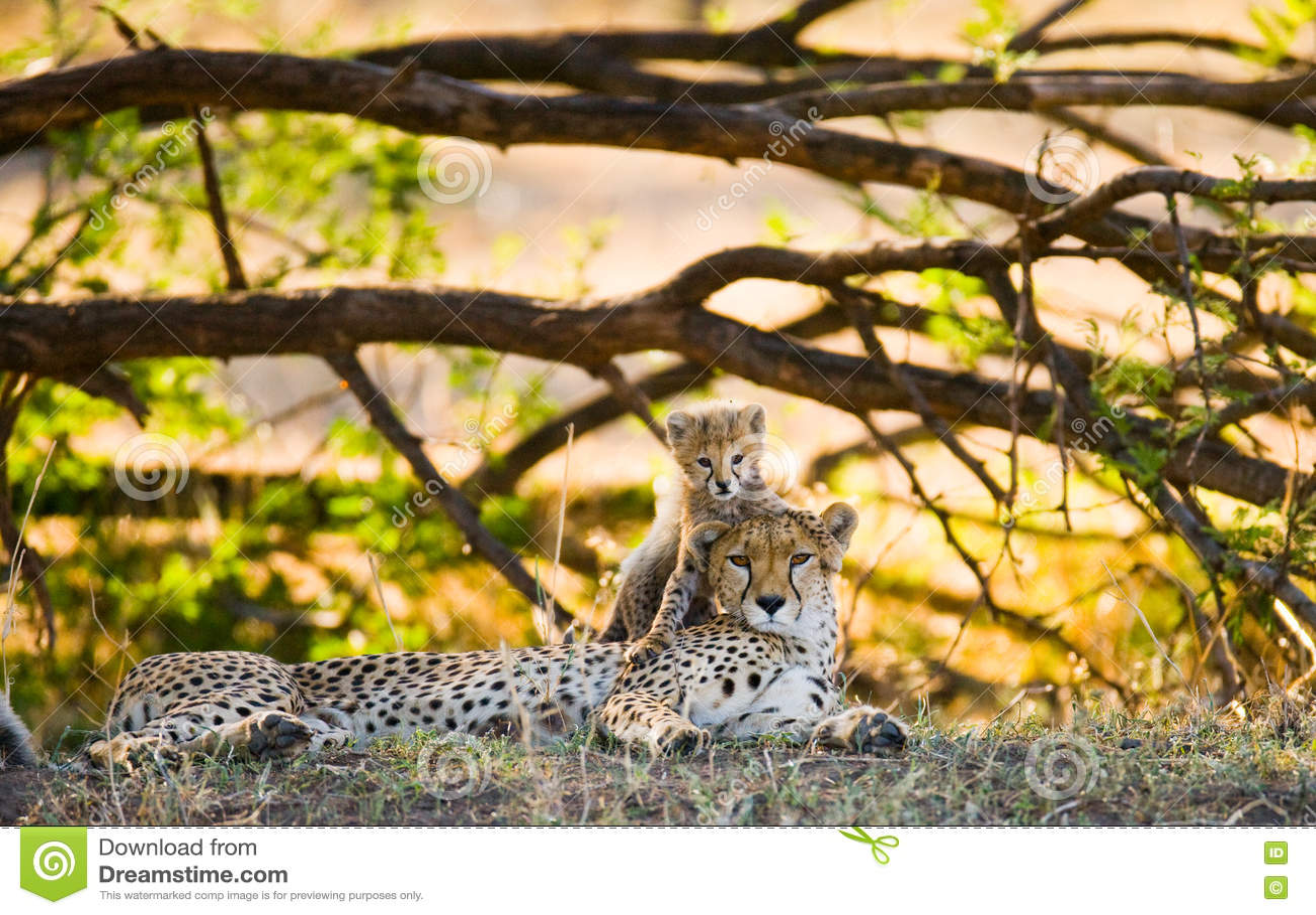 Mother cheetah and her cub in the savannah. Kenya. Tanzania. Africa. National Park. Serengeti. Maasai Mara.
