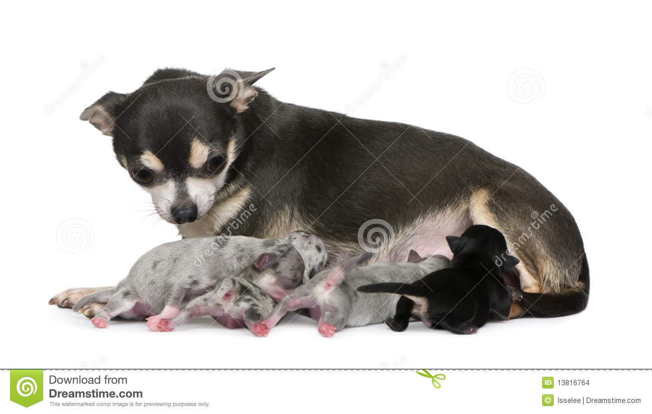 Mother Chihuahua And Her Puppies Stock Images - Image ...