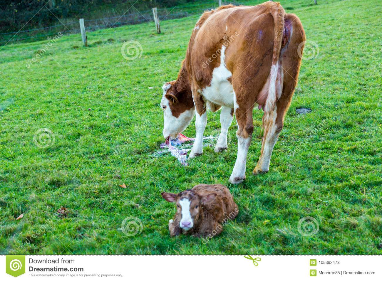 Mother cow with new born calf hours after giving birth on green