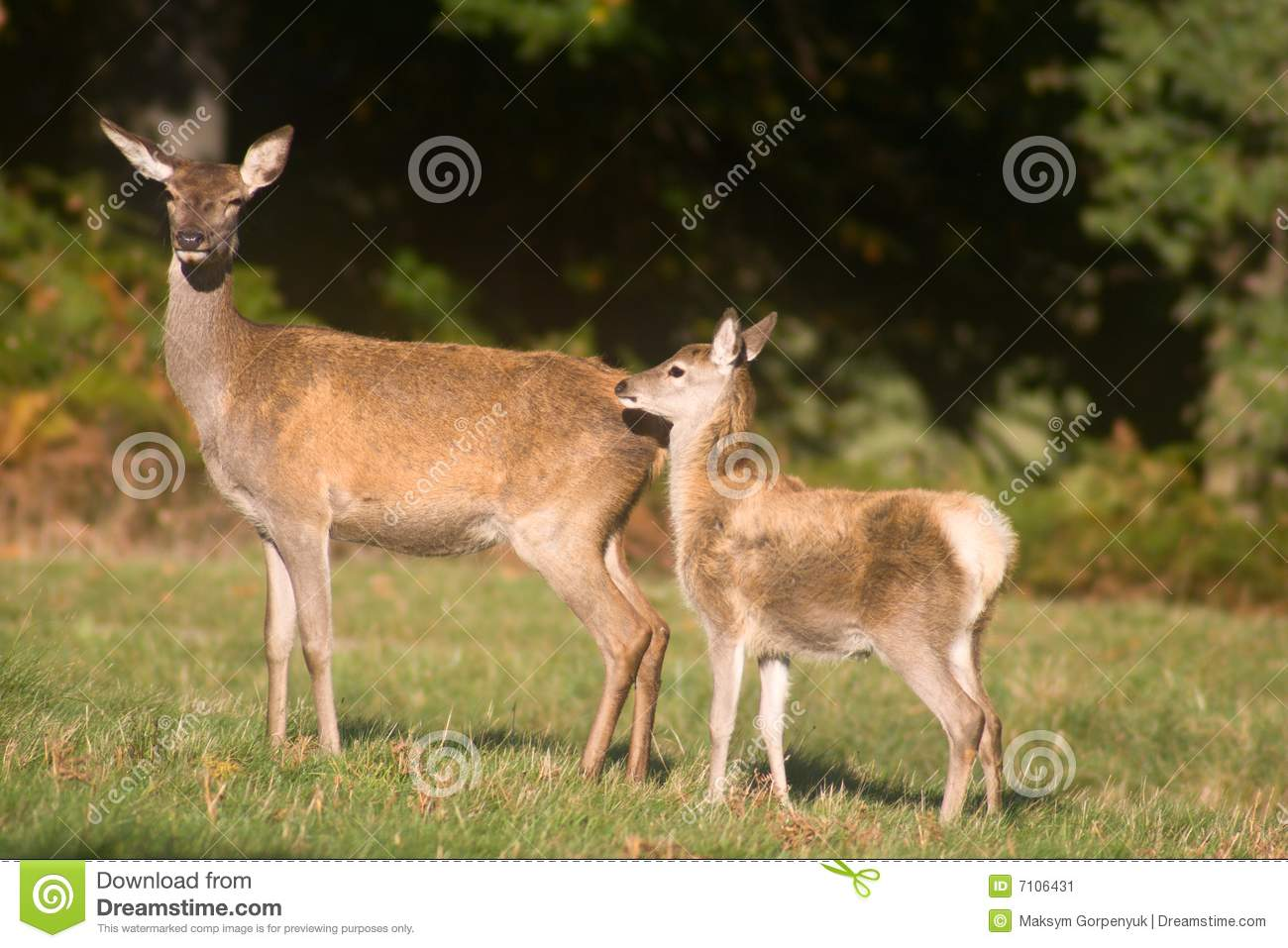 Mother deer and baby deer stock image. Image of mother ...