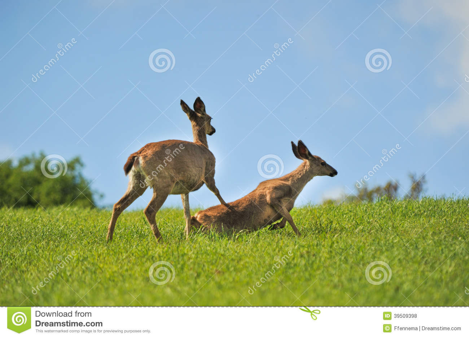 Mother deer pushes her doe down