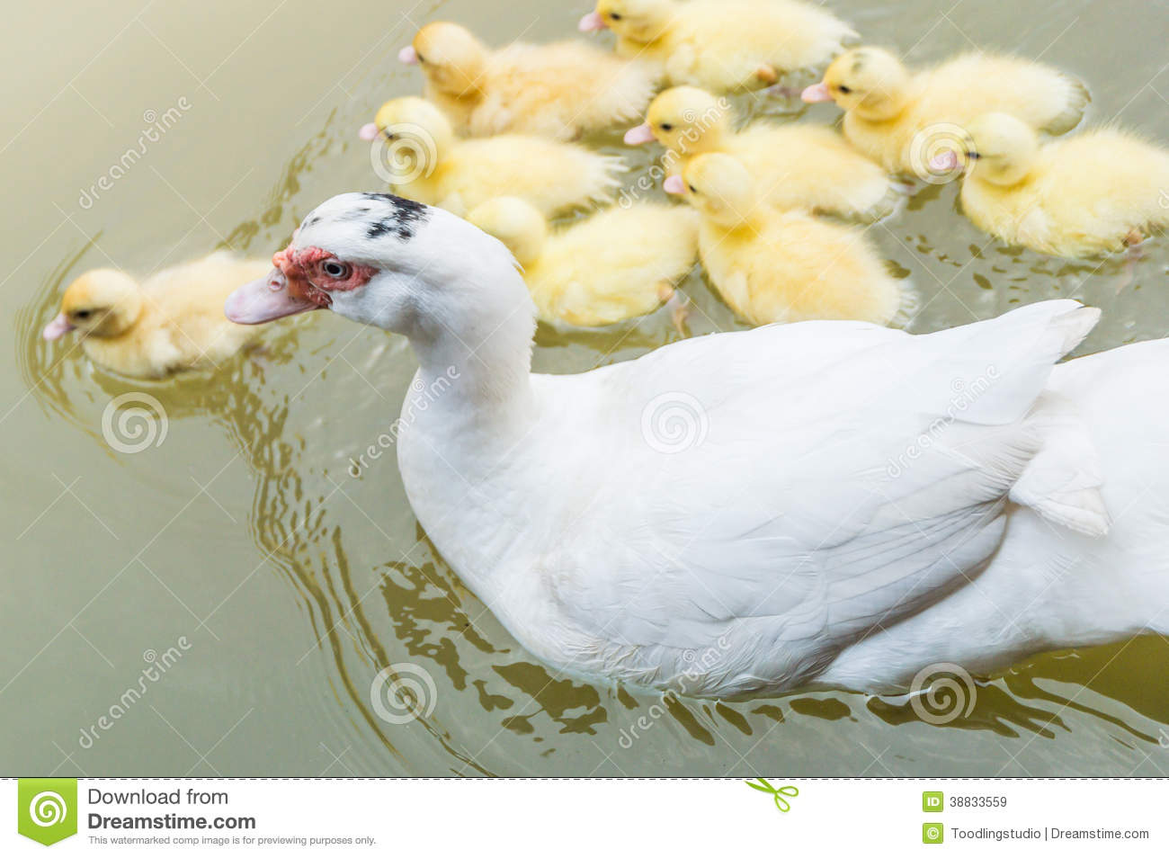 mother duck baby ducks stock photos 619 images