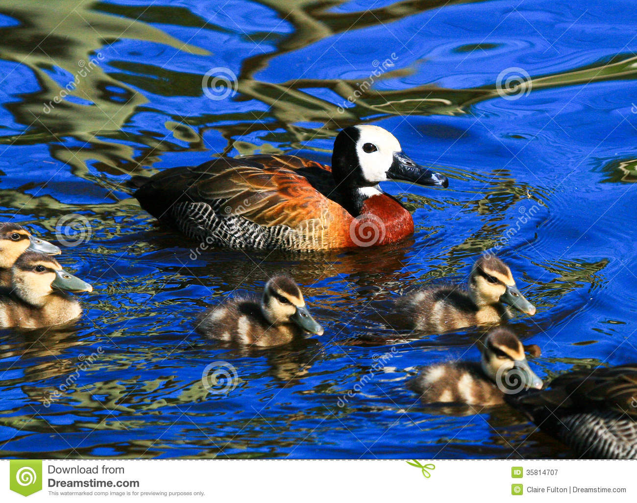 Mother Duck With Ducklings Royalty Free Stock Photography ...