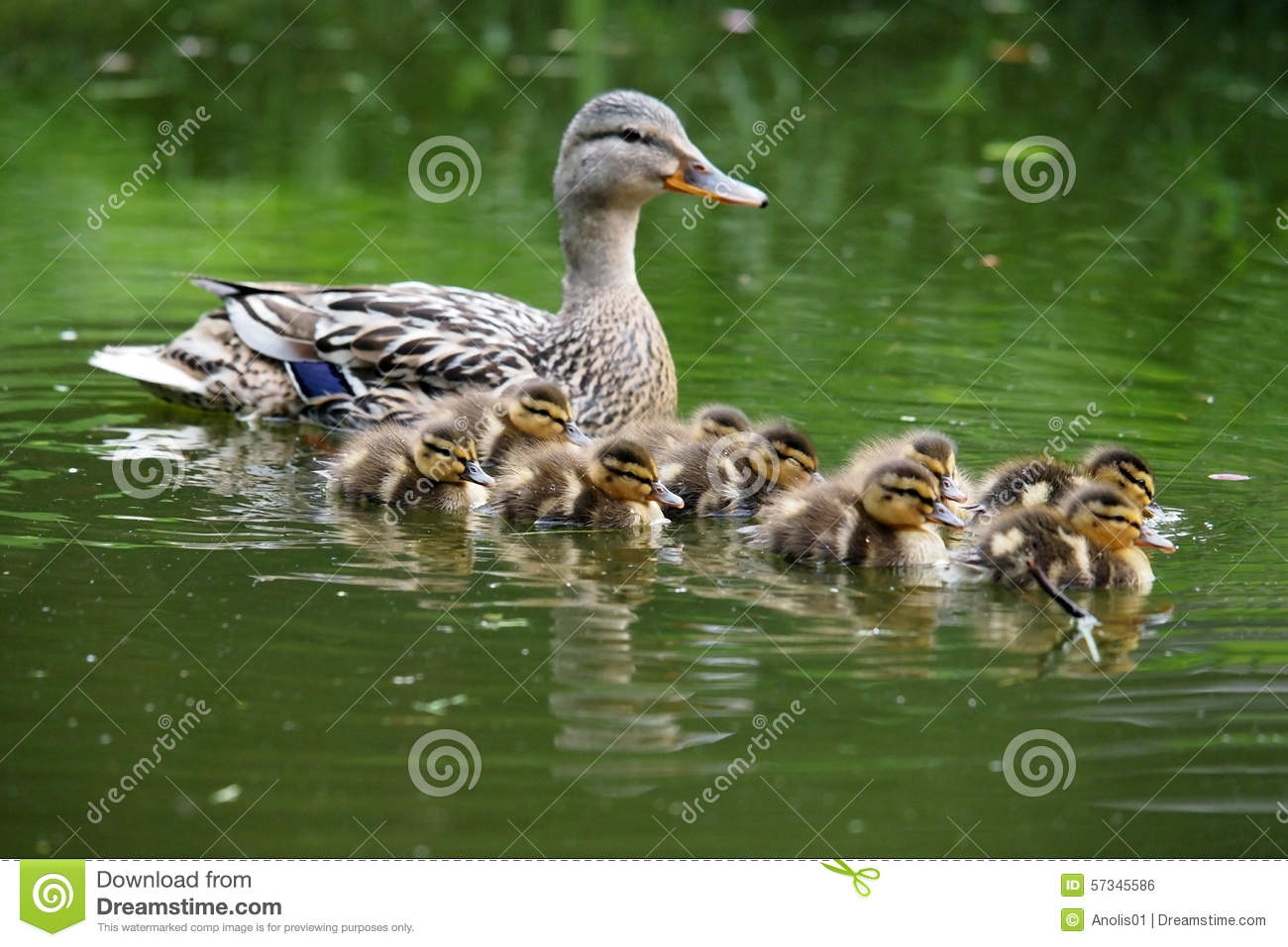 mother duck with her ducklings stock photo image 57345586