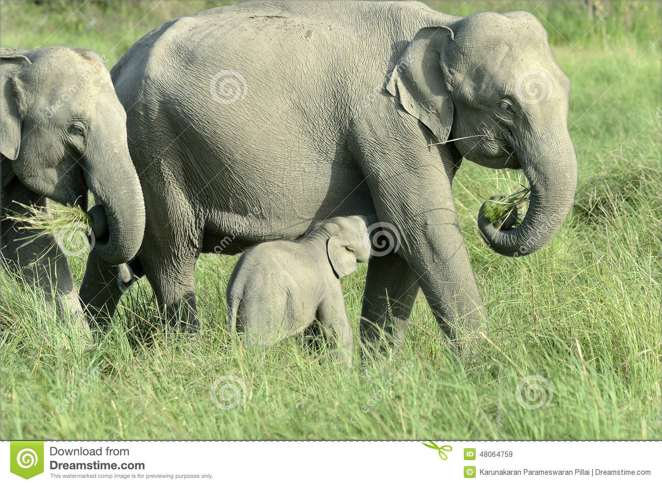 For explanation, Elephant adults only have missed