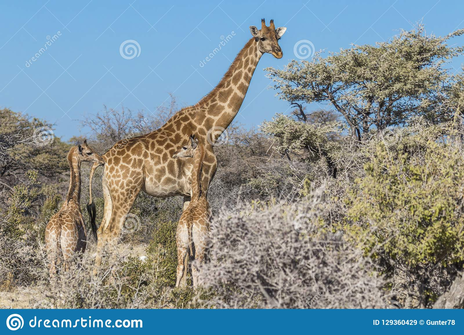 A mother giraffe Giraffa Camelopardalis with two babies, Etosha National Park, Namibia.