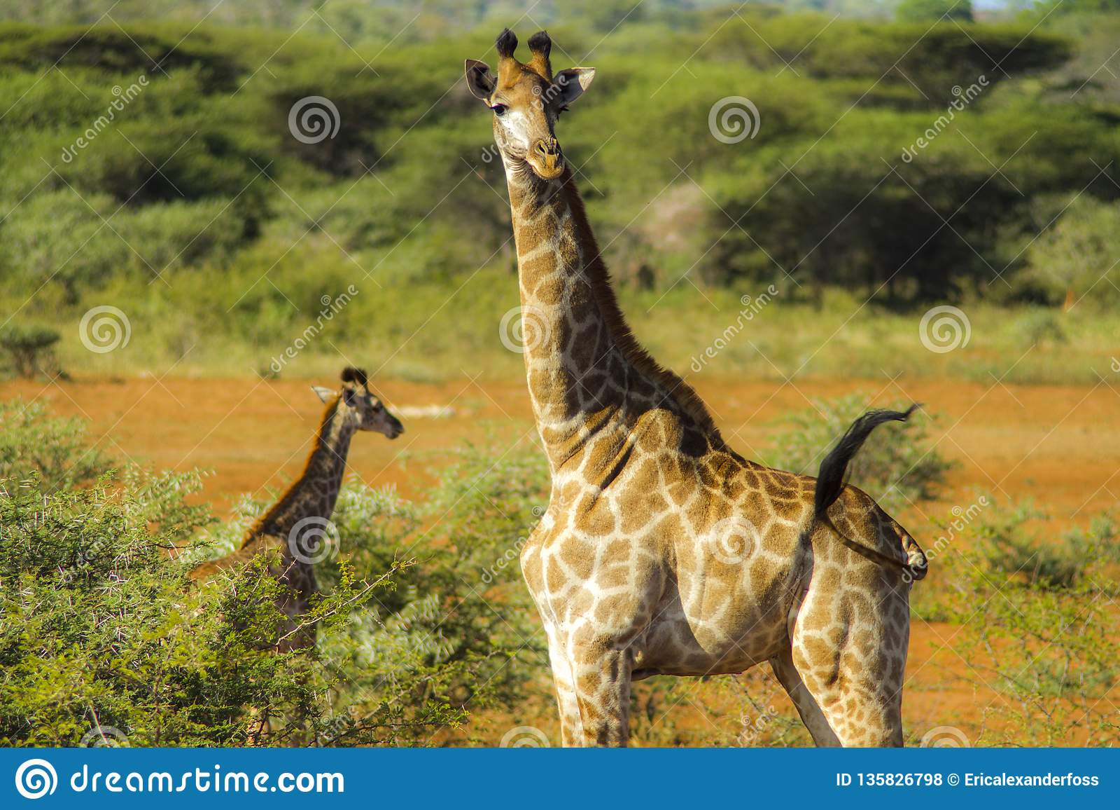 Mother Giraffe guides her baby through the savanna