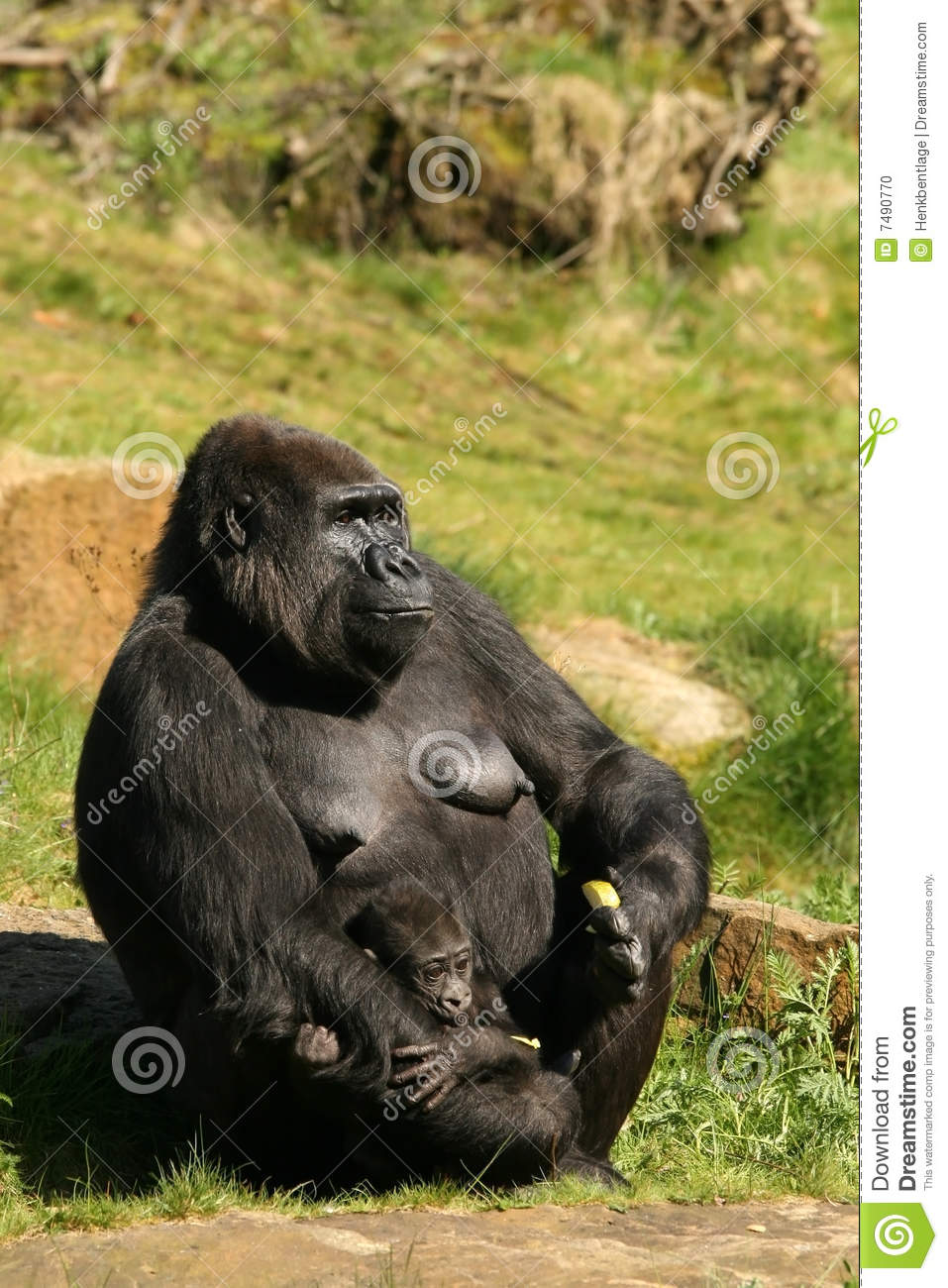 mother gorilla with baby in the hand stock photo