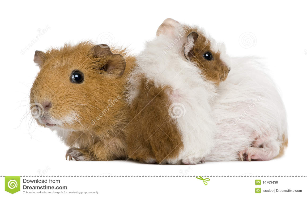 Mother guinea pig and her baby stock photo image 14763438 for Free guinea pig stuff