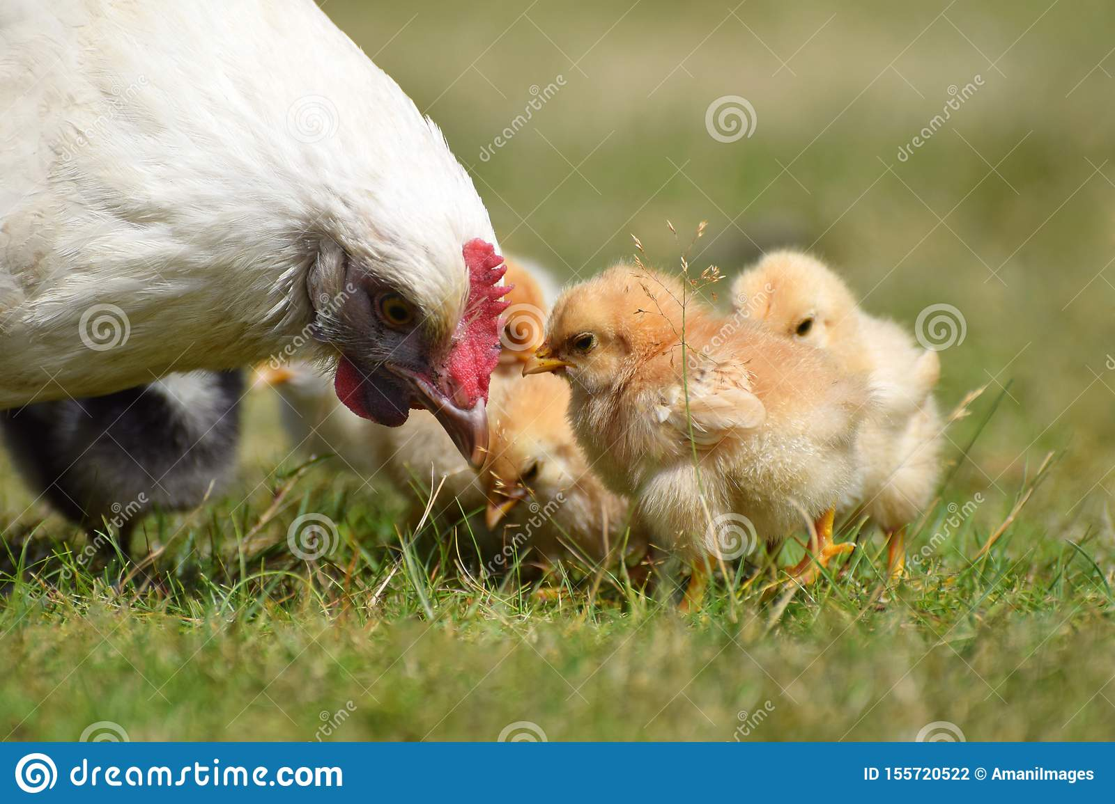 Mother hen with baby chicks