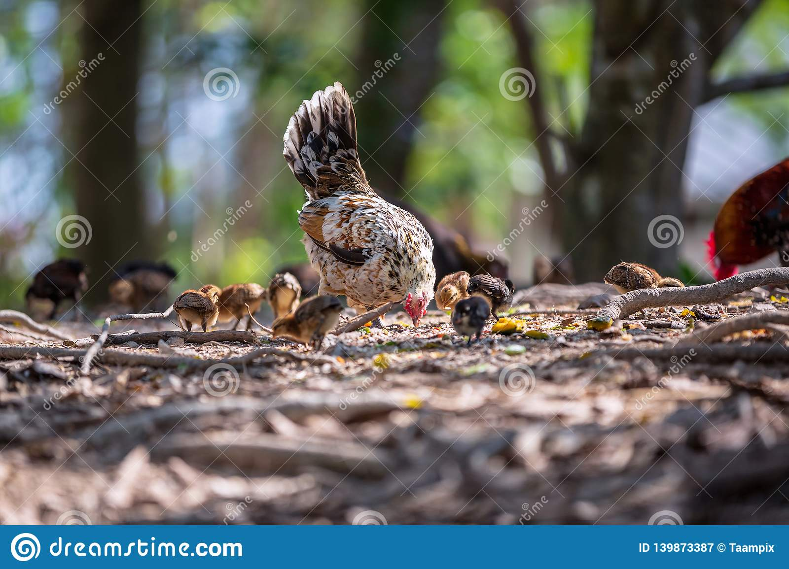 Mother hen and her baby Chickens pecking grain on ground. Chicks with their mom eating grain on ground
