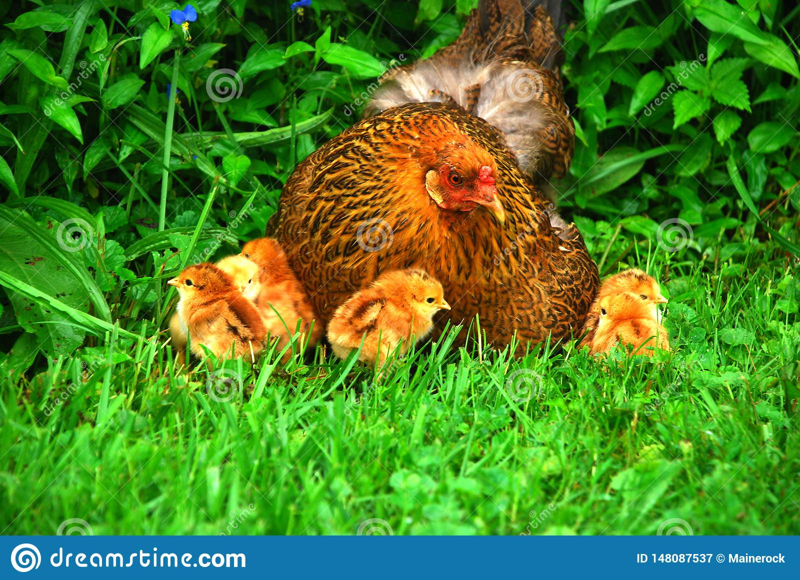 Mother hen surrounded by her chicks