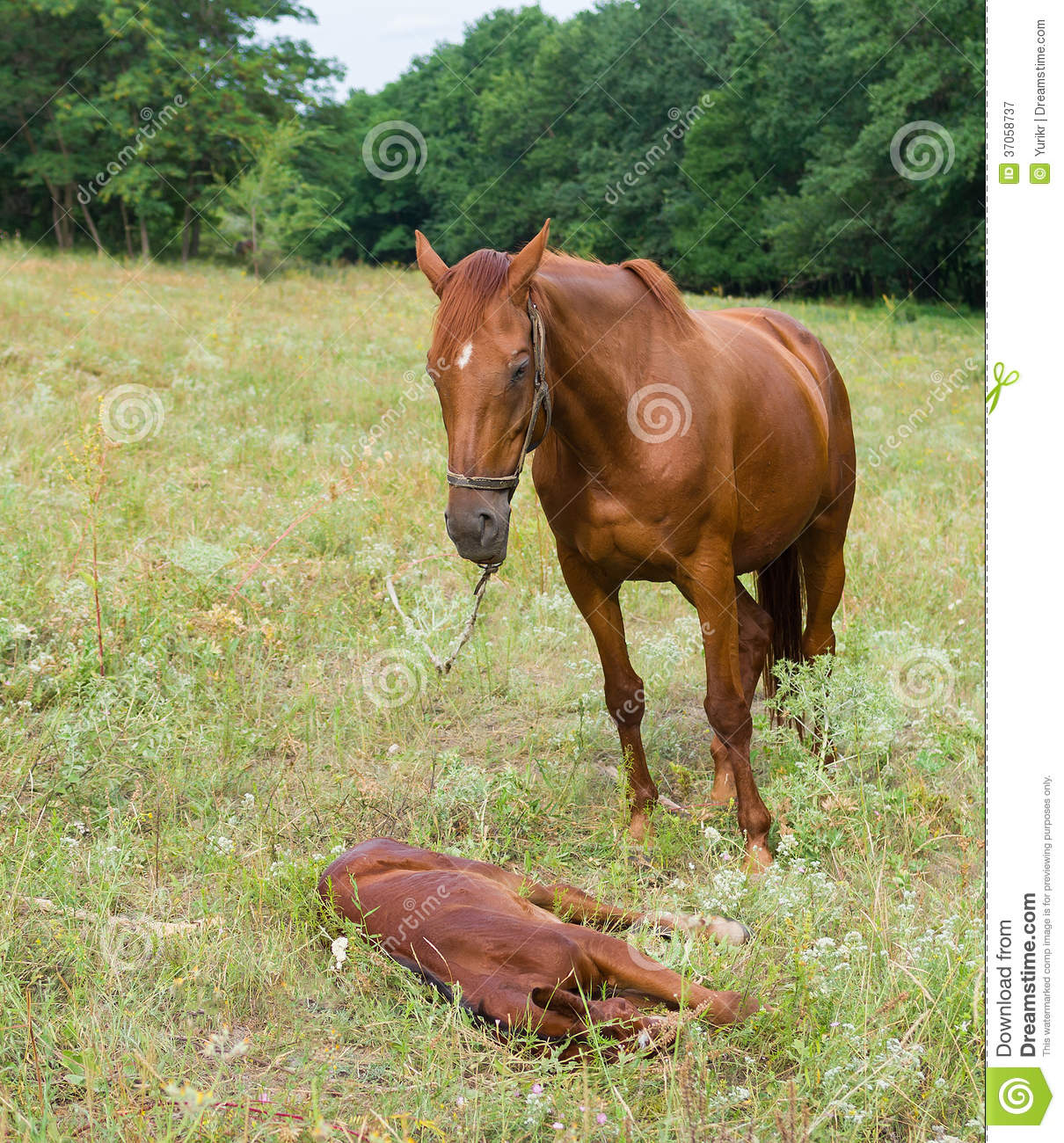 Mother Horse And Baby Foal Stock Image Image Of Grassland 37058737