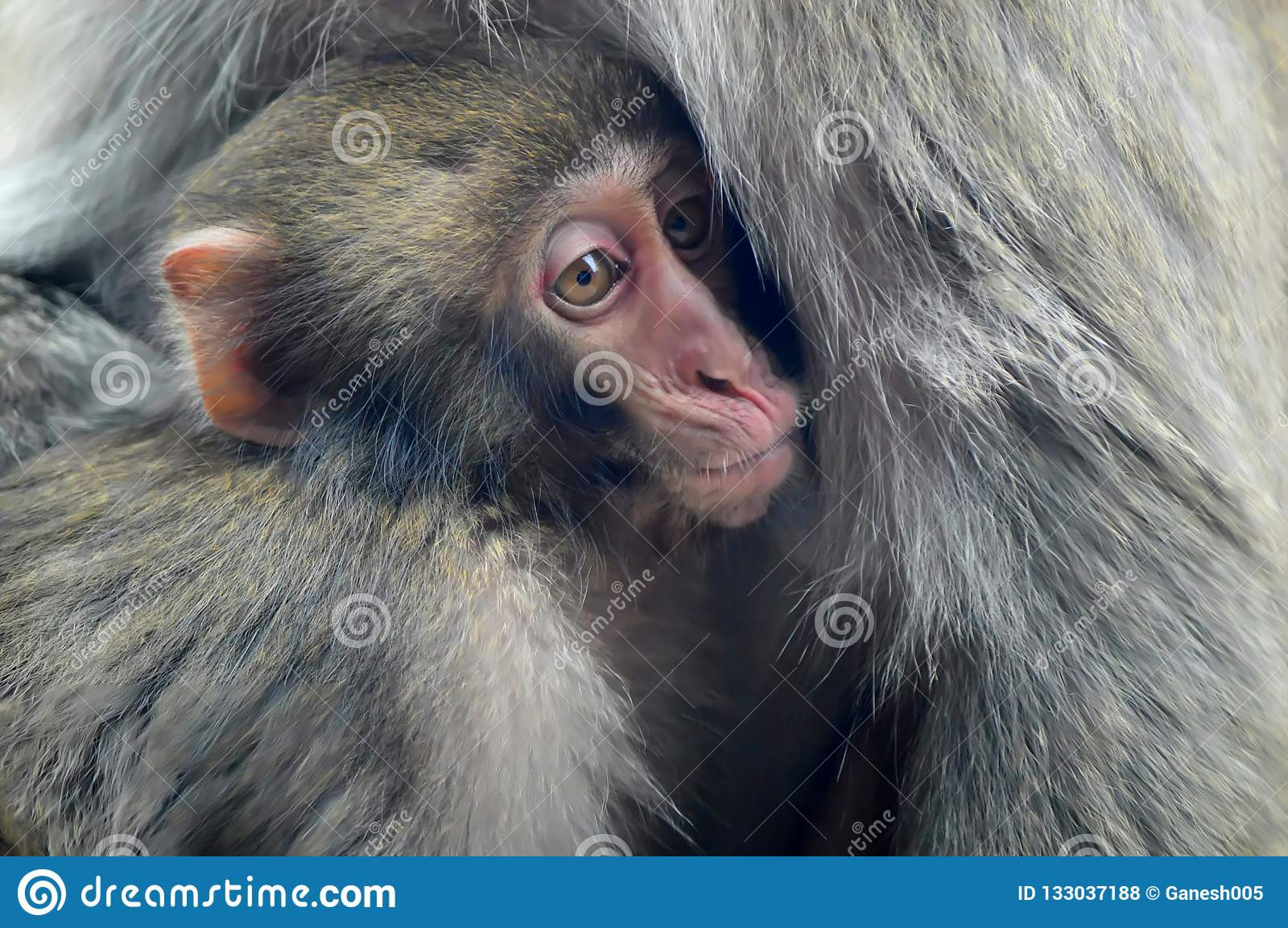 A mother Japanese macaque holds her baby