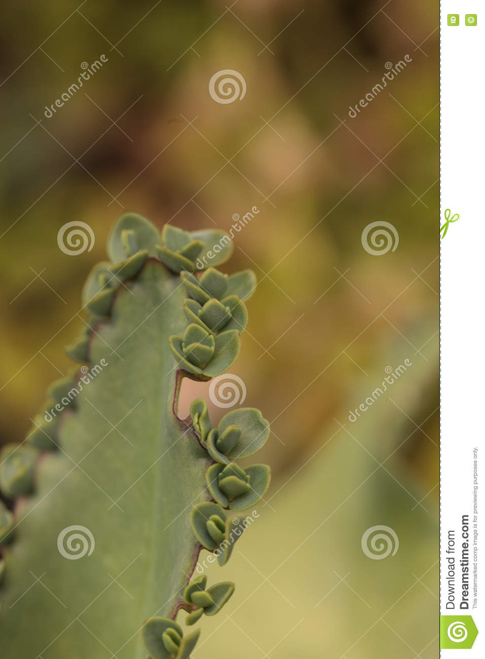 Mother Of Millions Succulent Stock Photo - Image of daigremontianin on plant care, plant life in mexico, plant called string of hearts, plant called crown of thorns, plant mother of the world,