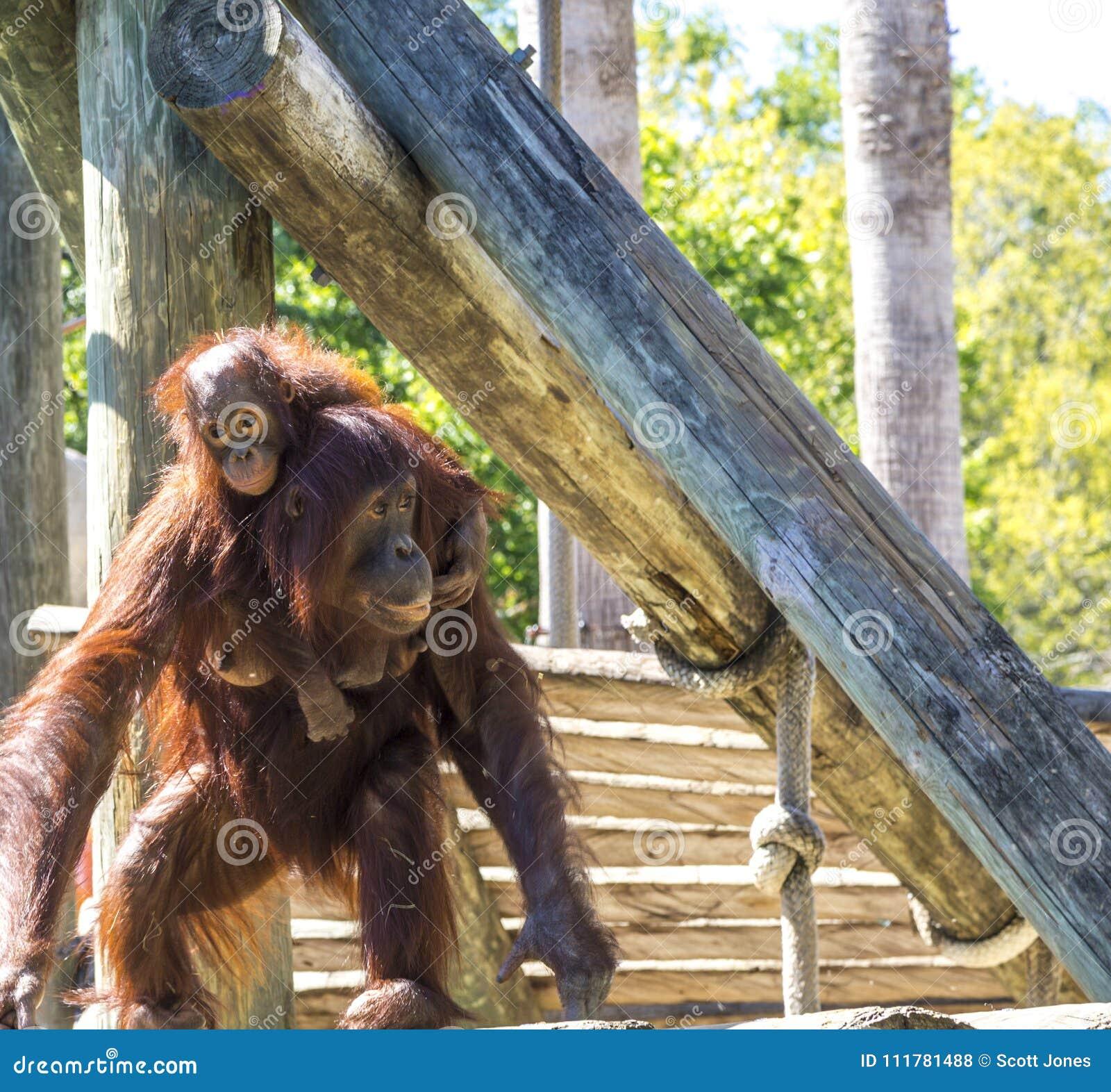 Mother Orangutan With Infant