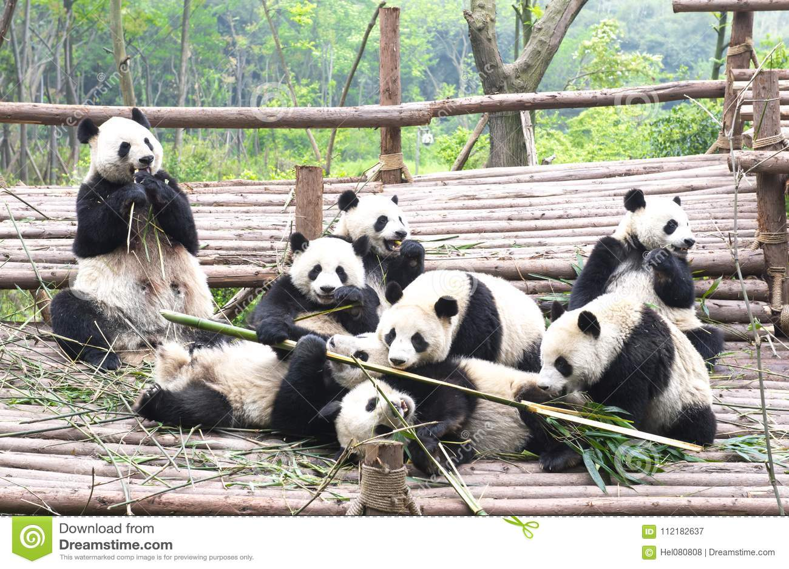 Giant Panda Cubs Playing Mother Panda Be...
