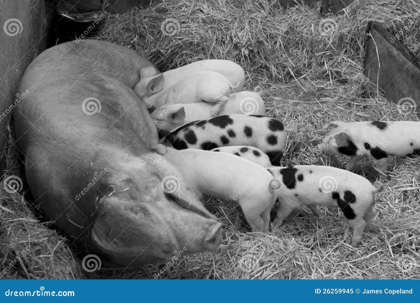 Sow Feeding Babg Piglets Royalty Free Stock Photo Image
