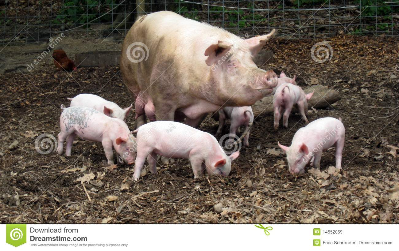 Mother Pig And Piglets Stock Image Image Of Young