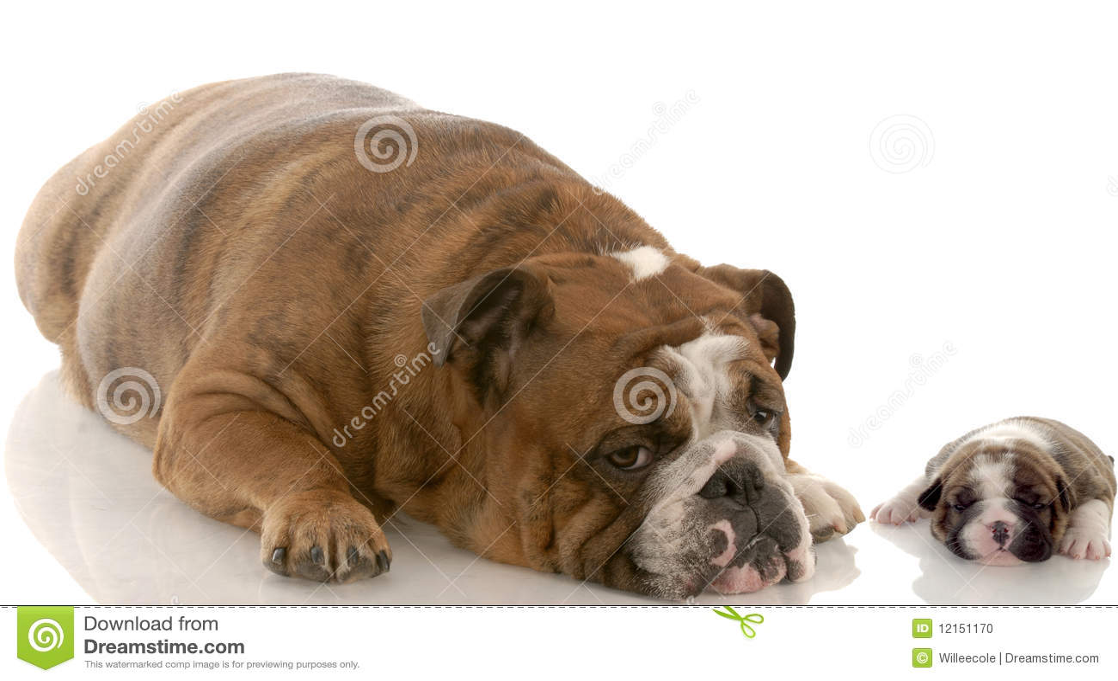 Mother And Puppy English Bulldog Stock Photo - Image: 12151170