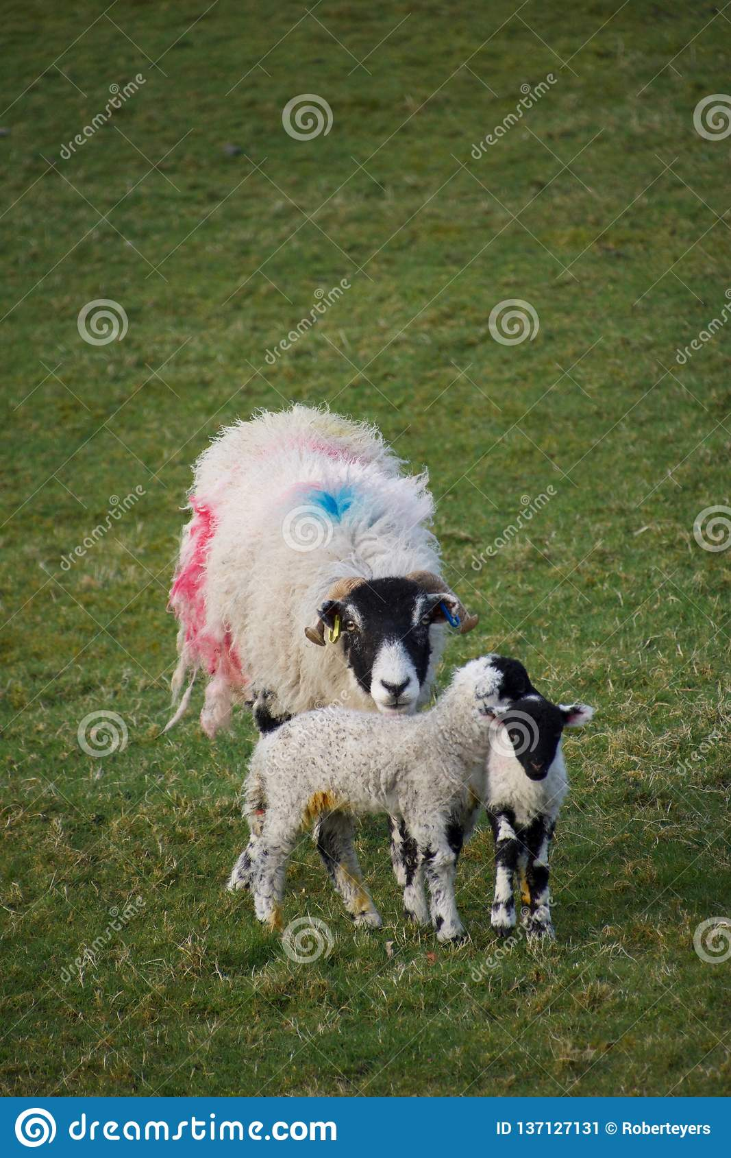 Mother sheep ewe with two young lambs