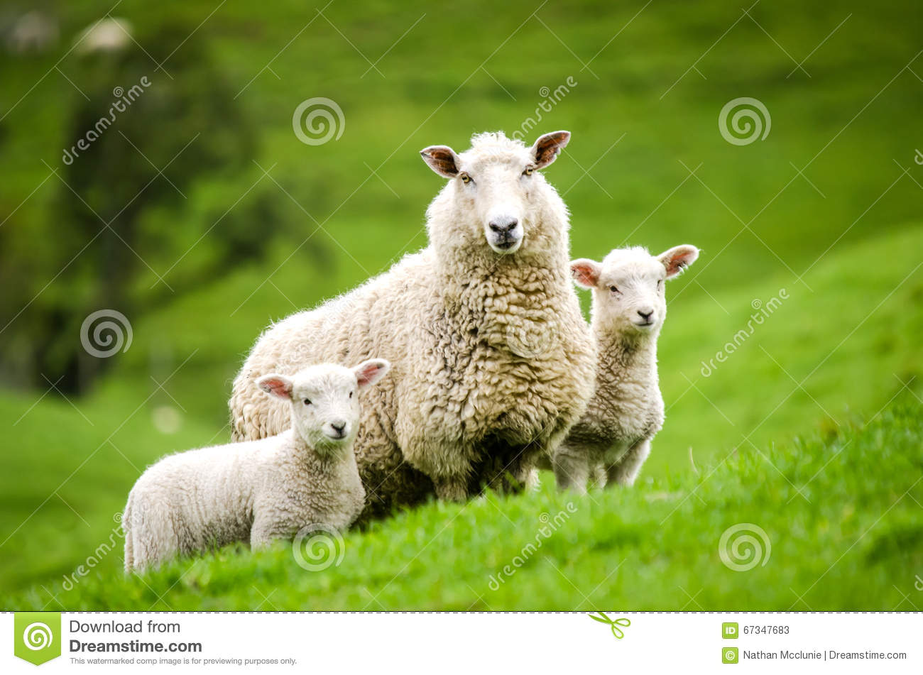 Mother sheep and her twin lambs