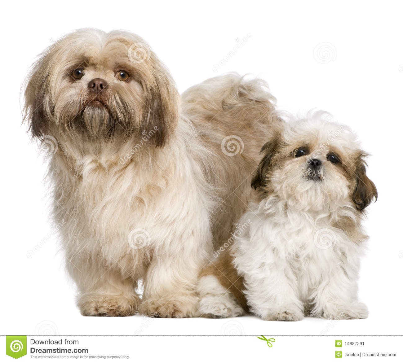 Mother Shih Tzu and her puppy