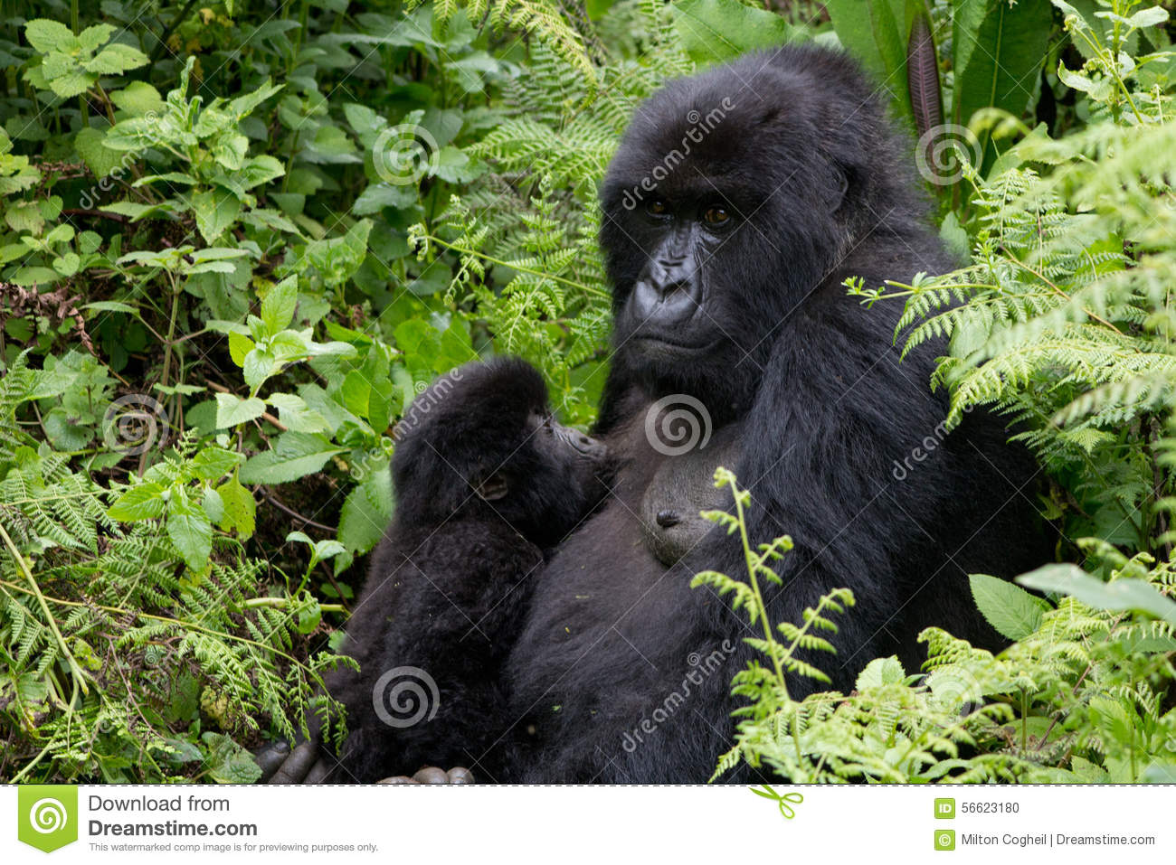 Mother And Suckling Baby Gorillas Stock Photo - Image of ...