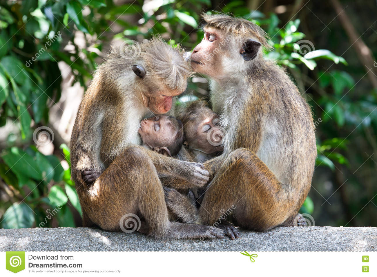 Mothers with young children Bonnet macaque monkeys